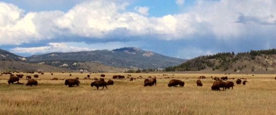 """""""Buffalo home on the Range""""  Jackson, WY.  2013."""